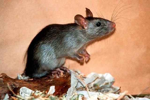 In Huttingen gibt es immer wieder Klagen über Ratten