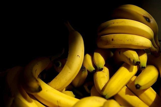 Kann Gentechnik die weltweite Bananenproduktion vor einem Pilz retten?