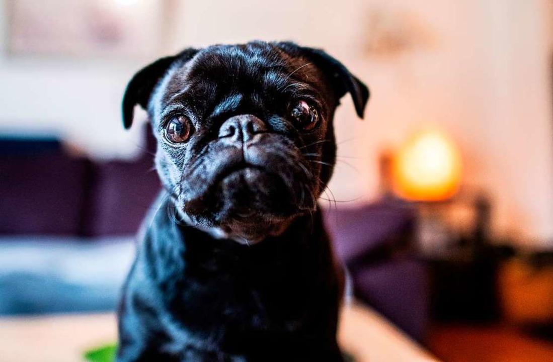 Ein Mops: süß  – oder vor allem überzüchtet?  | Foto: Guido Kirchner