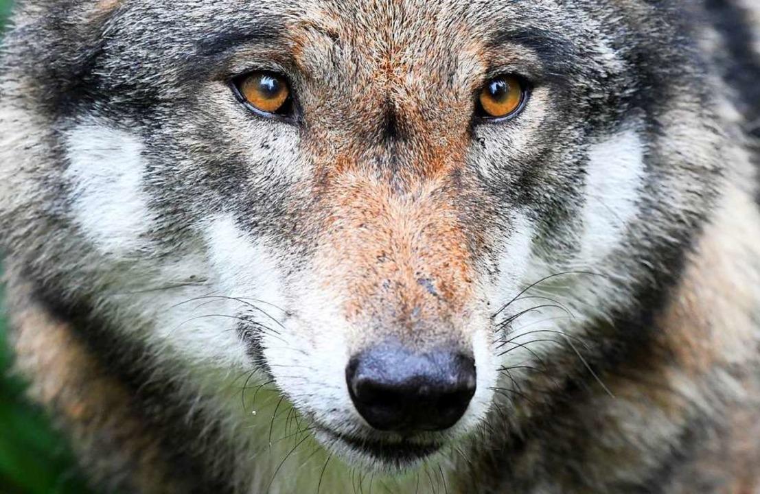 Dieses Foto eines Wolfes entstand in einem Tiergehege.  | Foto: Carsten Rehder (dpa)