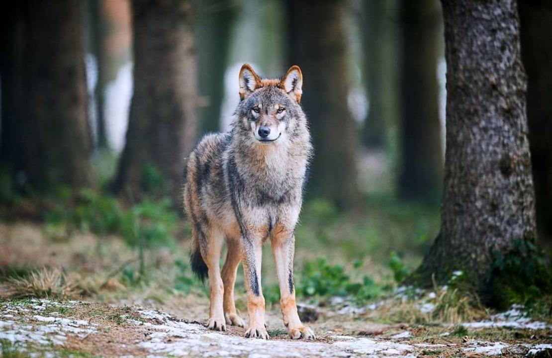 Ein Wolf in einem Gehege in Nordrhein-Westfalen  | Foto: Bernd Thissen (dpa)