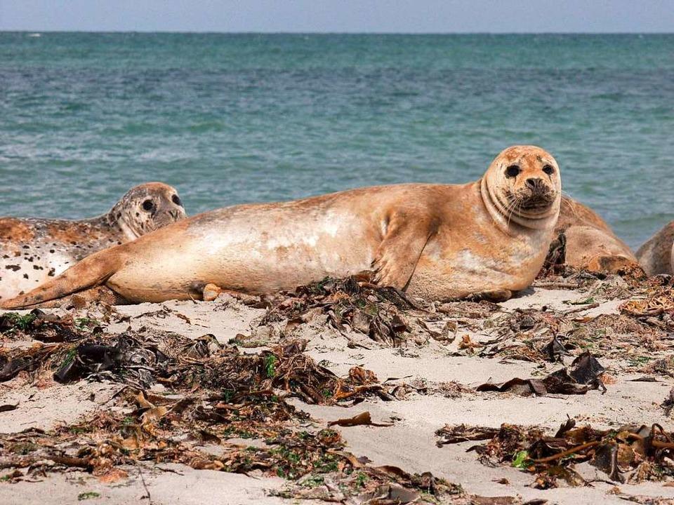 Robben steuern die Sandbänke vor Fanø an.  | Foto: Destination Sydvestjylland (dpa)