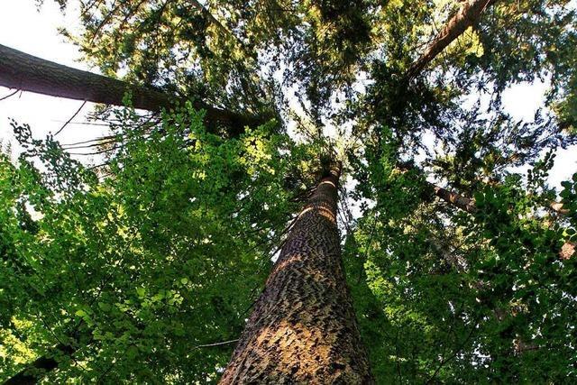 Der Bad Säckinger Stadtwald wird ein sattes Minus erwirtschaften