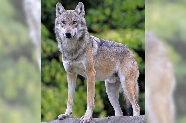 Michael Schott referiert in Schopfheim über die Rückkehr des Wolfes