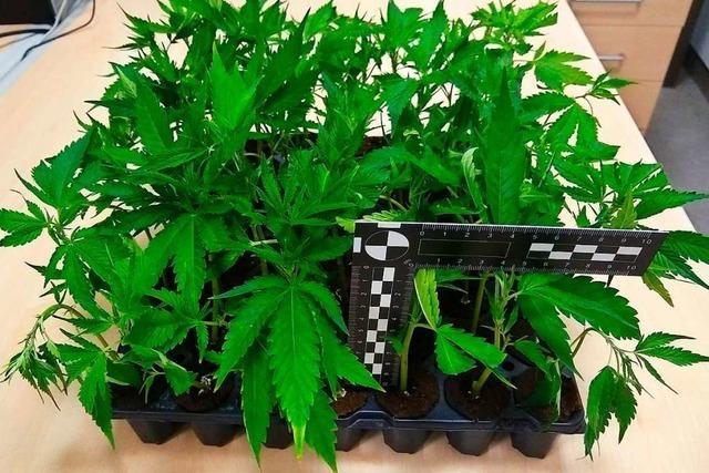 Zoll stellt am Grenzübergang Weil am Rhein 56 Cannabispflanzen sicher