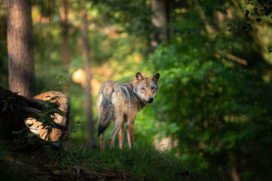 Streift ein Wolf durch die Wälder zwis...och nicht bestätigt sind (Symbolbild).  | Foto: DENNIS WACHTEL