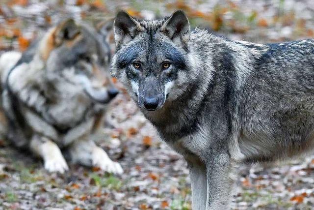 Wölfe vermehren sich weiter – nun gibt es 105 Rudel in Deutschland