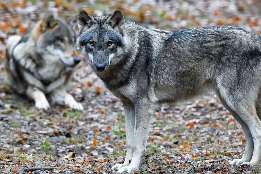 In Deutschland steigt die Zahl der Wöl...ge des Wildparks Schorfheide zu sehen.  | Foto: Patrick Pleul (dpa)