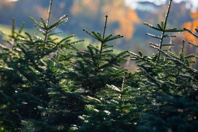 Schwarzwälder bieten Weihnachtsbäume aus schafbeweideten Kulturen an
