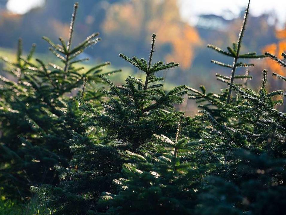 Unbelastete Weihnachtsbäume aus dem Sc...onale Erzeuger verkaufen. (Symbolbild)  | Foto: Monika Skolimowska (dpa)