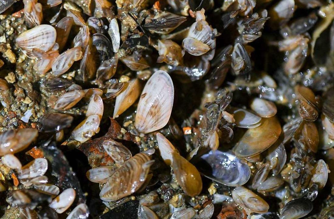 Der wissenschaftliche Name der Quagga-Muschel lautet Dreissena bugensis.  | Foto: Patrick Seeger (dpa)