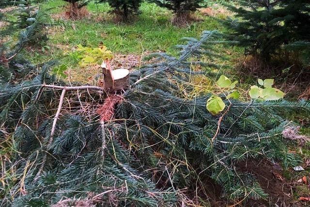 Reumütige Baumdiebe entschuldigen sich bei Schwörstädter