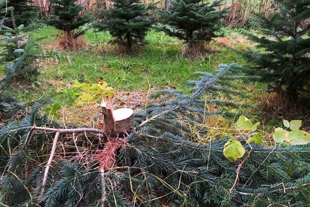 Den Baum hat Günther Bühler nicht mehr...enigsten Geld und eine Entschuldigung.  | Foto: Günter Bühler