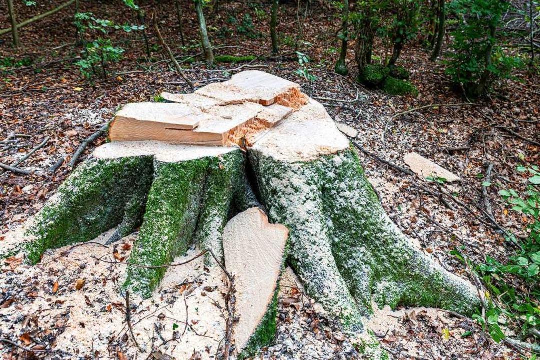 Hier wurde ein kranker Baum am Schönberg  gefällt.  | Foto: Hubert Gemmert