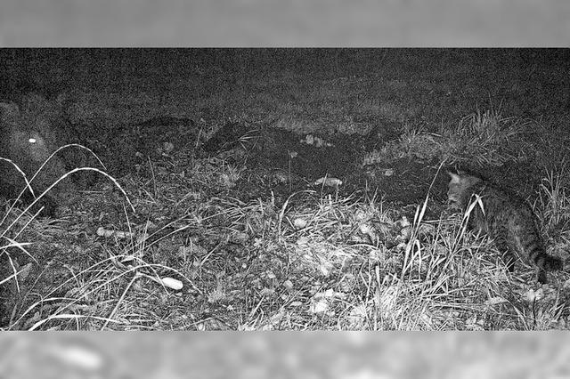Erste Wildkatze in der Vorbergzone