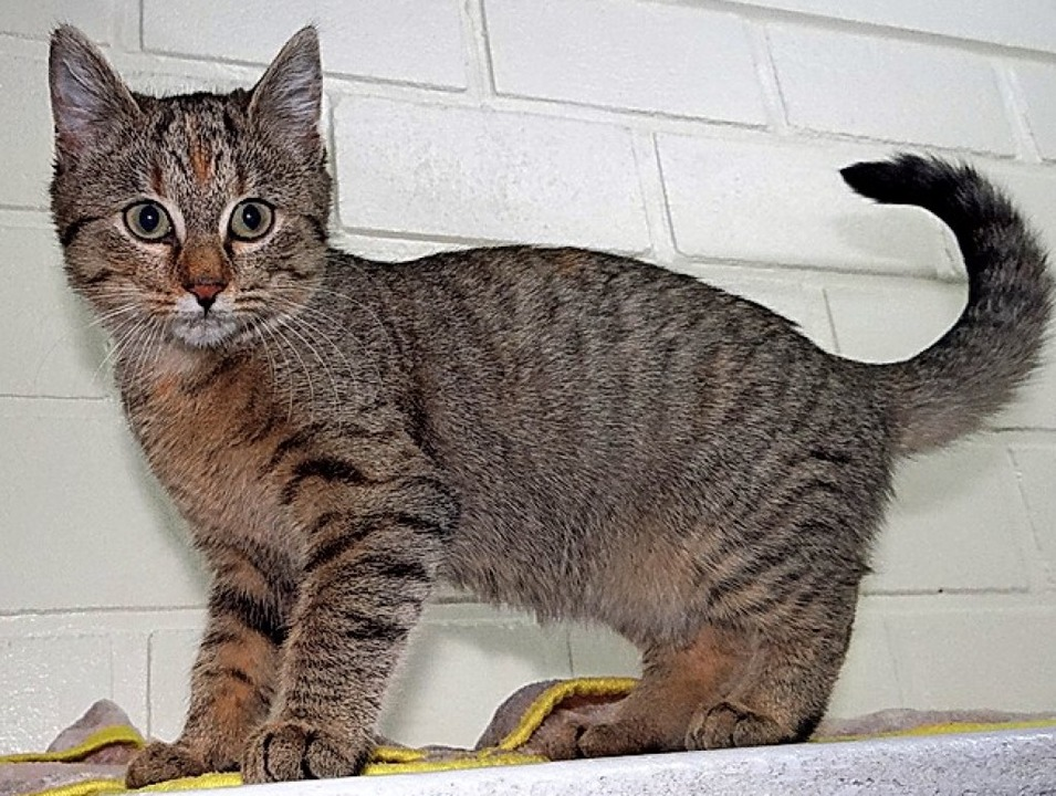Katze Fiebi   | Foto: Tierheim Lahr