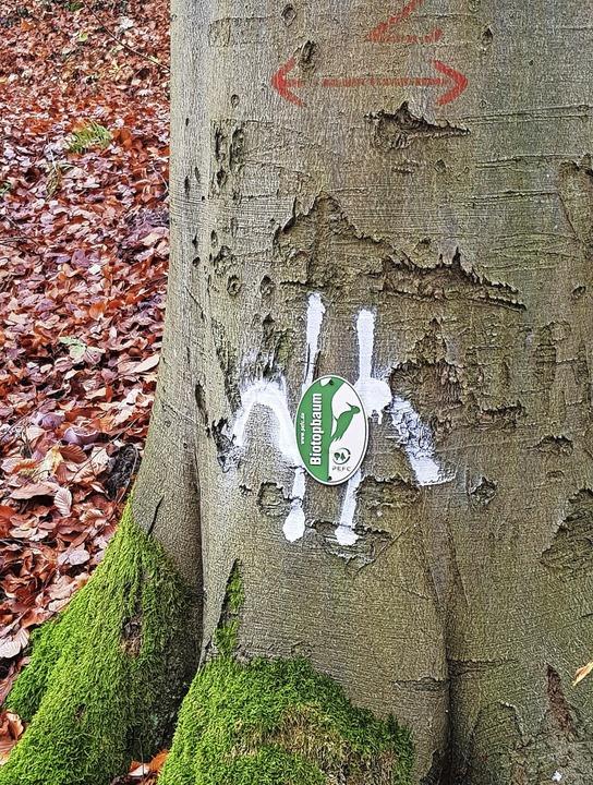 Biotopbäume bieten gefährdeten  Tierar...gtsburger Stadtwald einen Lebensraum.   | Foto: Julius Wilhelm Steckmeister