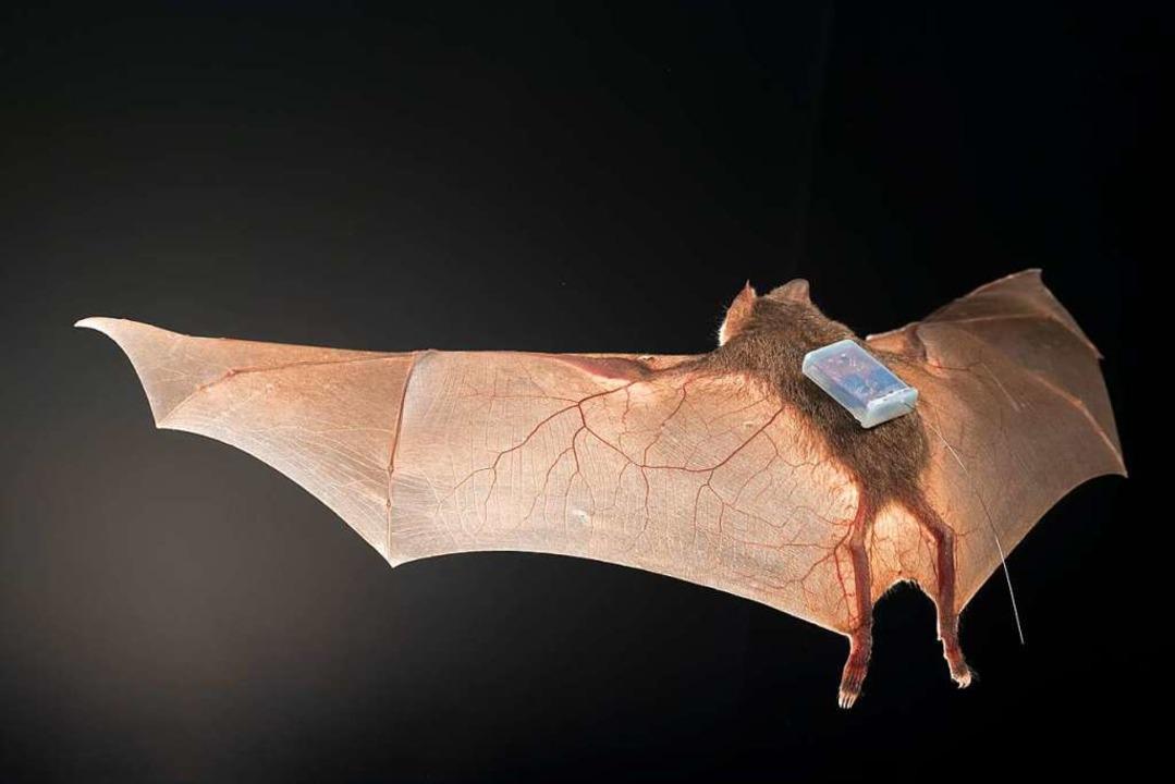 Mit dem nur 1,8 Gramm schweren Trackin...Sozialleben der Fledermäuse erforscht.    Foto: Sherri and Brock Fenton