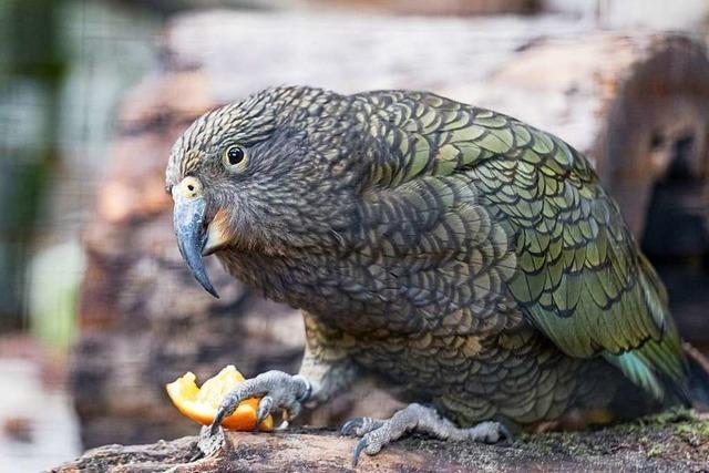 Die Genies unter den Papageien sind in den Basler Zoo zurückgekehrt