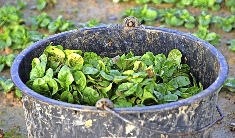 Biologisch oder konventionell angebaut...usehen ist das diesem Feldsalat nicht.  | Foto: Kathrin Blum