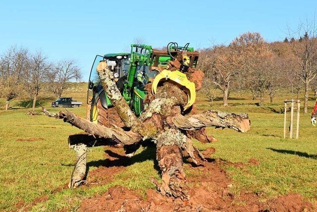 Toter Baum bleibt in Ebringen als Experiment für Tiere stehen