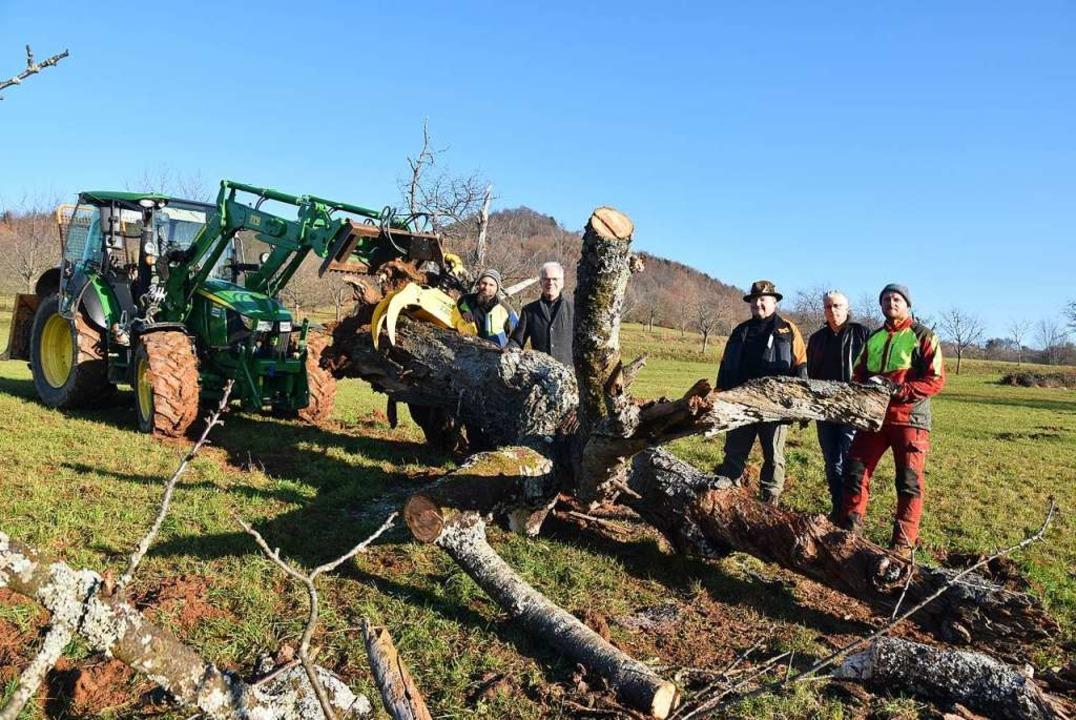 Der Totholzbaum wird mit dem Traktor über die Wiese gezogen.  | Foto: Andrea Gallien
