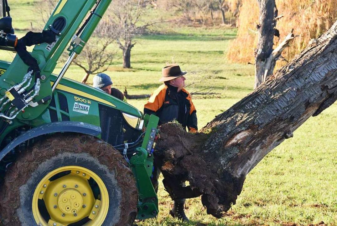 Jetzt heißt es, den toten Baum an den lebenden anzulehnen.  | Foto: Andrea Gallien