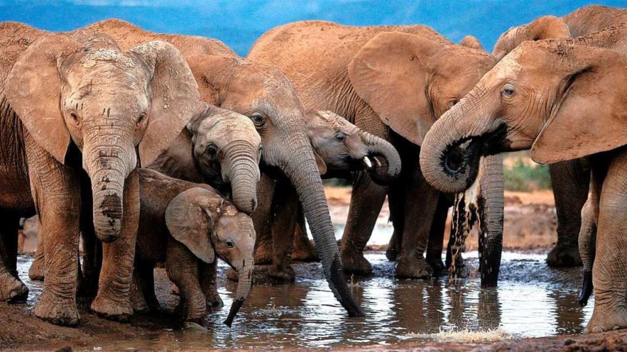 "Elefanten gehören zu den ""Big Fi...le in einem Nationalpark in Südafrika.  | Foto: epa Jon Hrusa"
