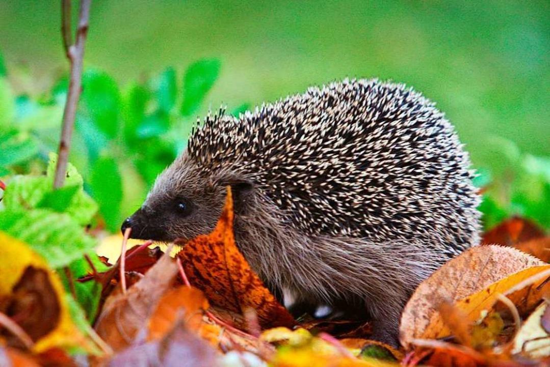 Ein Igel läuft durch einen Garten.  | Foto: Karl-Josef Hildenbrand (dpa)
