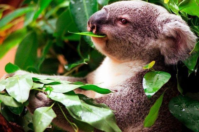 Koalas – Bären, die gar keine Bären sind
