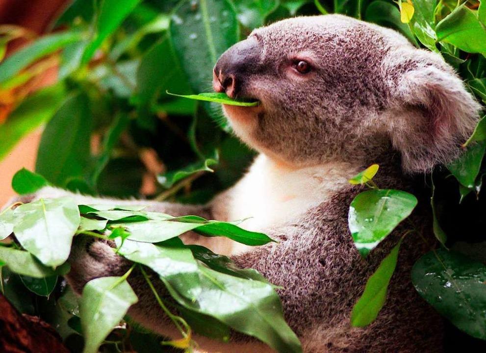 Ein Koala frisst Eukalyptus.  | Foto: Herbert Spies