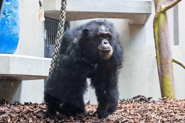 Zoo Basel trauert um Schimpansen Tatu – Todesursache unklar