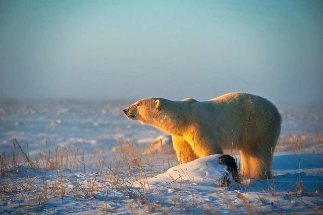 Bärenliebe im eiskalten kanadischen Winter