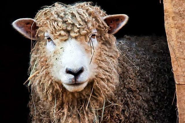 Schaf stirbt nach Impfung gegen die Blauzungenkrankheit