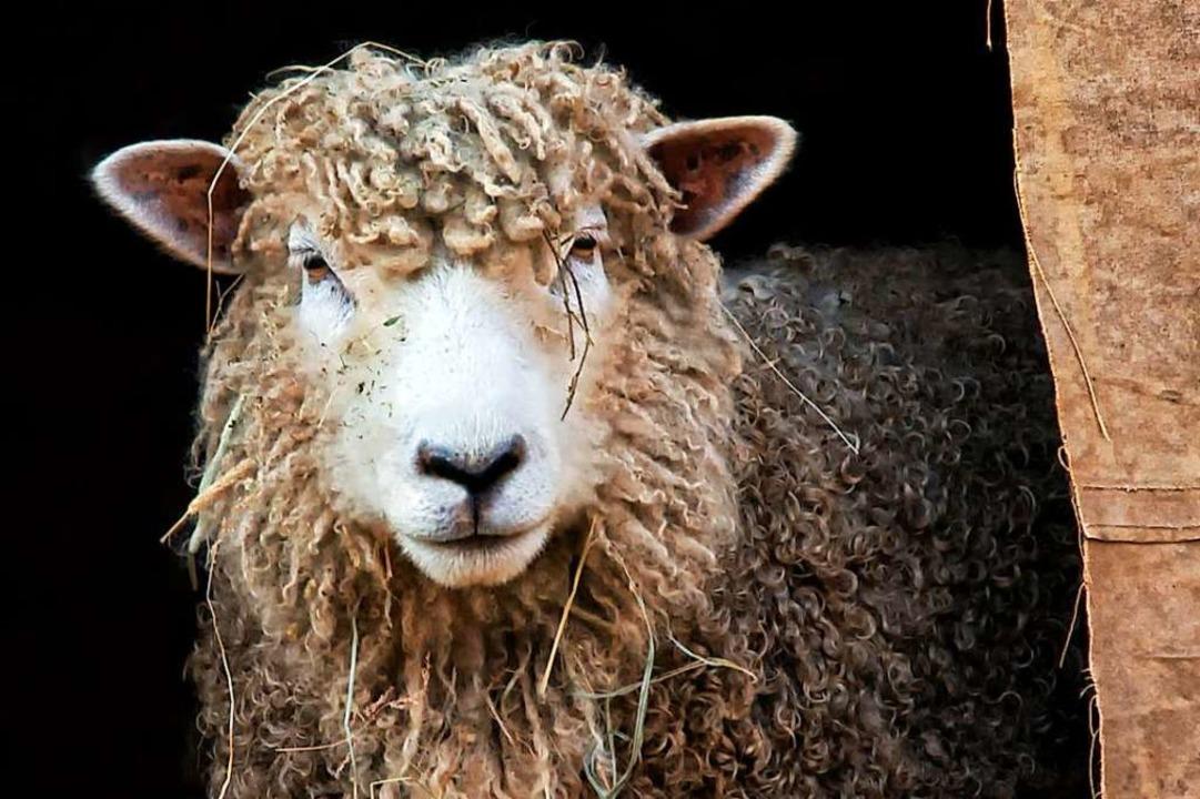 Der betroffene Landwirt hatte sich geg... gewehrt. Nun ist ein Schaf gestorben.  | Foto: Karen