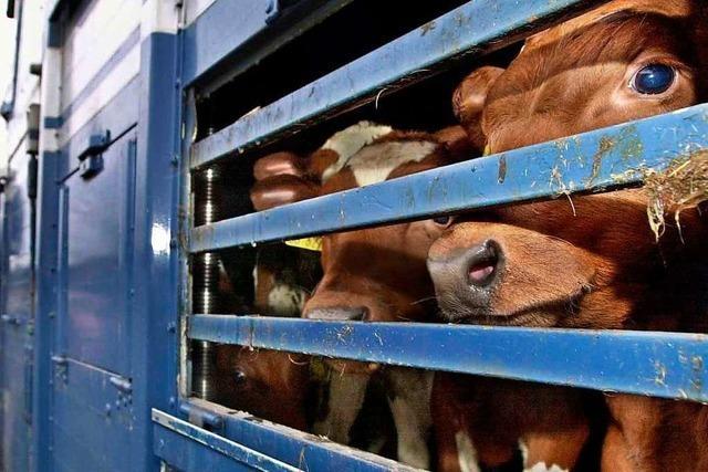 Gestresste Kälbchen im Tiertransporter