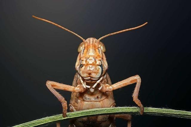 Heuschreckenschwärme fressen Felder kahl