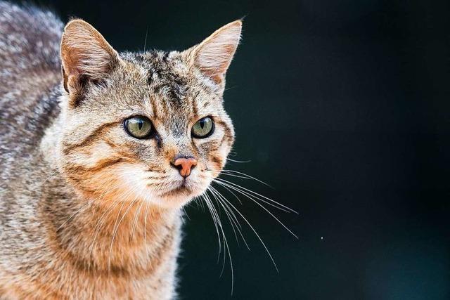 In der nördlichen Ortenau ist eine Wildkatze unterwegs – bremst sie den Kiesabbau aus?