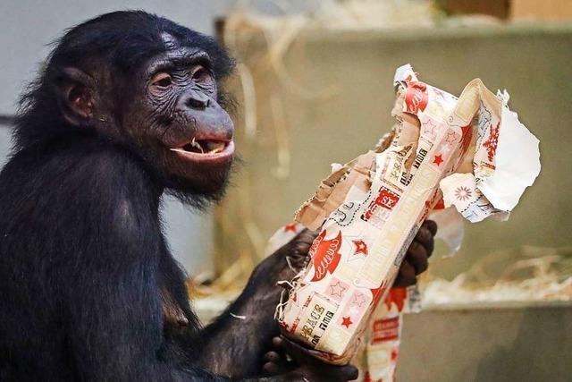 Tierische Bescherung in der Wilhelma: Affen bekommen Weihnachtsgeschenke