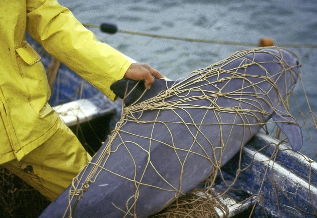 Ein Schweinswal ist einem Fischer ins Netz gegangen.  | Foto: Cristian Faesi (dpa)