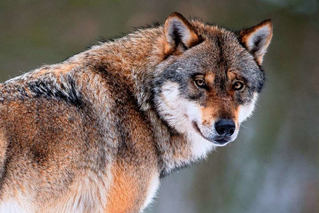 Der Wolf (hier ein Tier aus einem Wild... heile Natur vor, wie Kritiker meinen?    Foto: Swen Pförtner