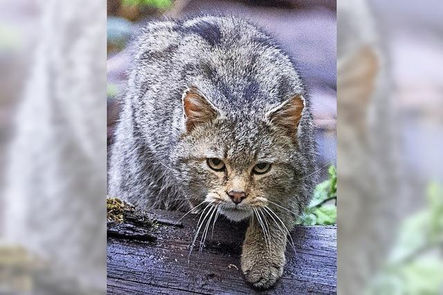 Wildkatze in den Rheinauen hält die Verantwortlichen auf Trab