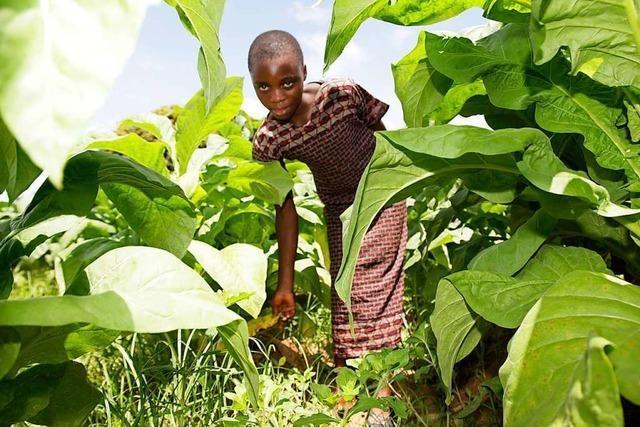 Beim Tabakanbau gibt es viel Kinderarbeit