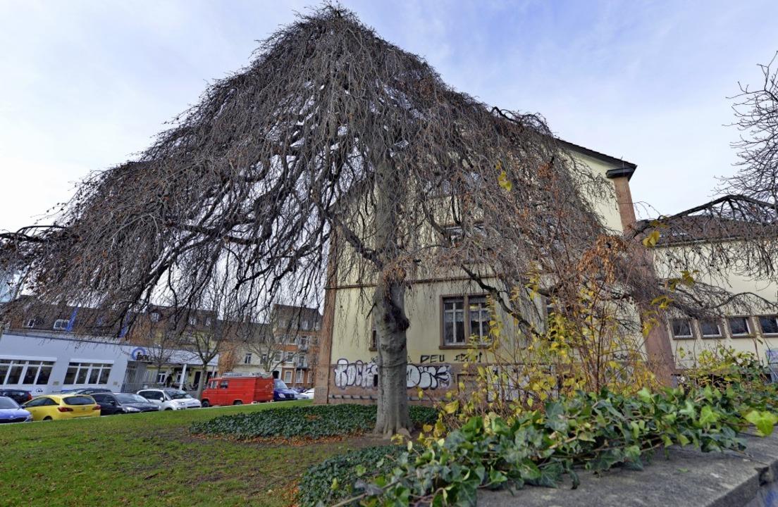 Selbst ohne Blätter ein Prachtexemplar...Baum: die Hängebuche im Sedanquartier   | Foto: Michael Bamberger