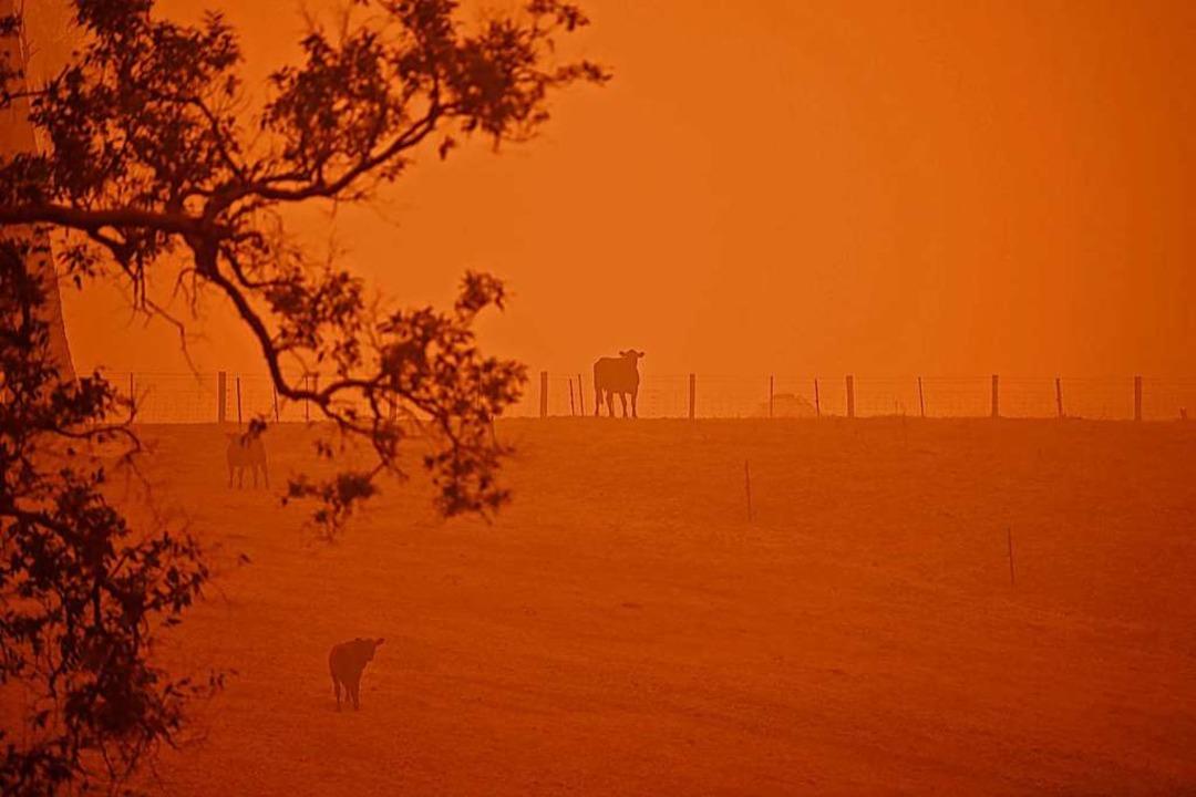 Vieh steht auf einer Weide in Australi...st von den Buschfeuern rot beleuchtet.    Foto: SAEED KHAN (AFP)