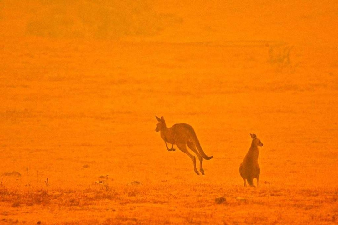 Kängurus flüchten for den Rauchschwaden.    Foto: SAEED KHAN (AFP)