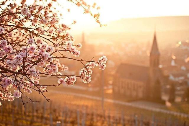 Frühling an der Weinstraße