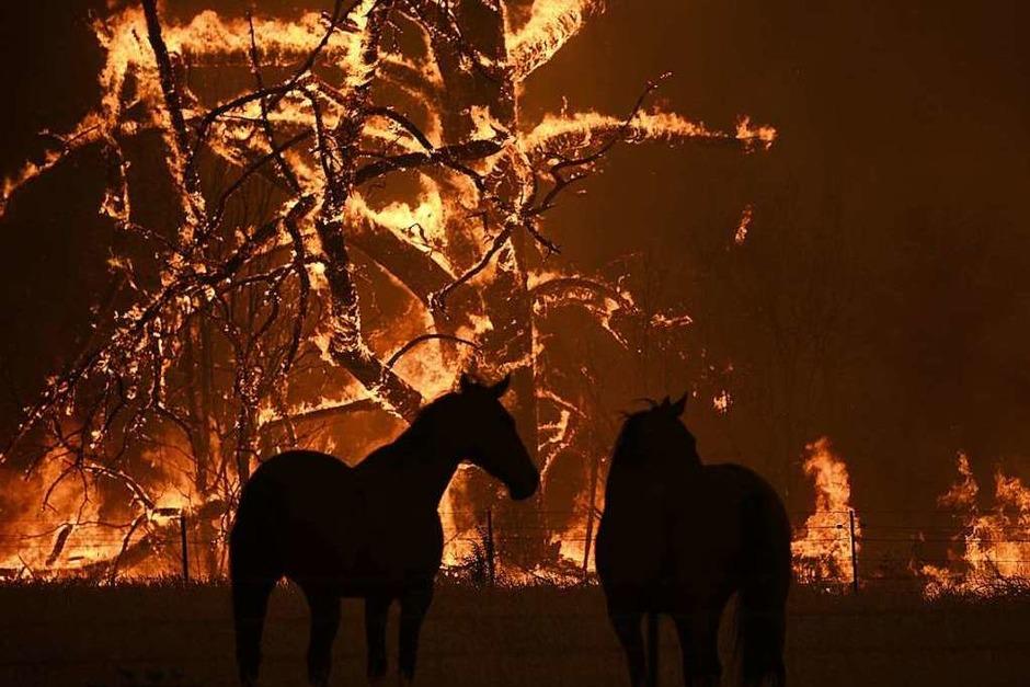 Zwei Pferde stehen auf ihrer Koppel, die vom Gosper Mountain-Feuer bedroht ist. (Foto: Dan Himbrechts (dpa))