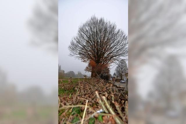 Sieben Bäume müssen fallen
