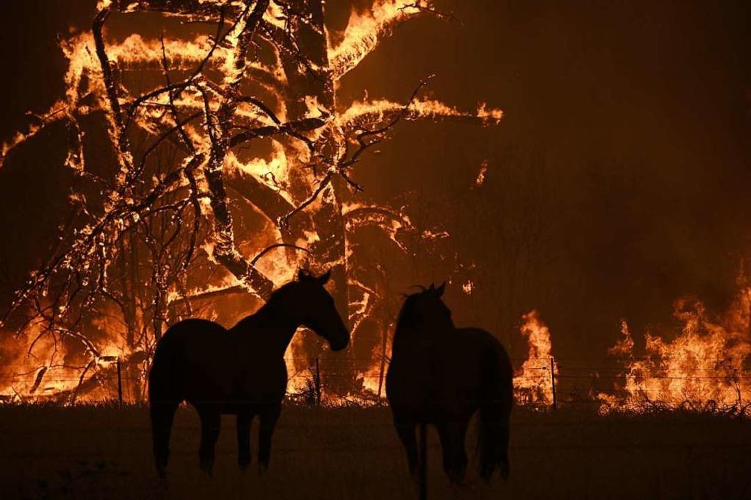Zwei Pferde stehen auf ihrer Koppel, d...schfeuer in Australien spitzt sich zu.  | Foto: Dan Himbrechts (dpa)